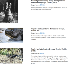 Screenshot of Alligators in Florida Section, Photograph by Astha Berry
